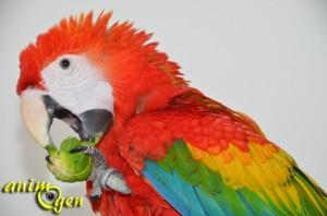 Alimentation : le chou de Bruxelles , une source de vitamines insoupçonnée pour nos perroquets