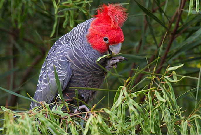 Le Cacatoès à huppe rouge, ou Callocephalon fimbriatum, oiseau emblème du territoire australien