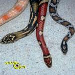 Un serpent albinos aurait beaucoup de mal à survivre dans la nature.