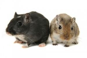 Comportement : les différences de marquage de territoire entre gerbilles mâles noires et agouti