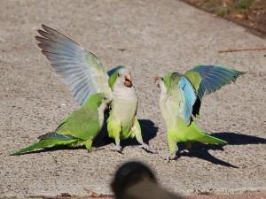 Les racines de l'agression chez le perroquet, séminaire de Johanne Vaillancourt