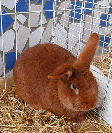lapin-fauve-de-Bourgogne-nac-rongeurs-lagomorphes-alimentation-soins-caractère-tempérament-maintien-captivité-reproduction-animaux-compagnie-animogen-2
