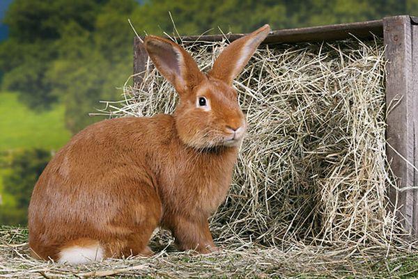 Le Fauve de Bourgogne, un lapin au poil de carotte