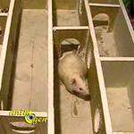 Le sens de l'observation et la mémoire des rats au service de leur intelligence