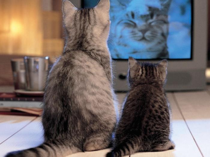 La diffusion de vidéos favorise-t-elle l'enrichissement visuel de l'environnement chez le chat ?