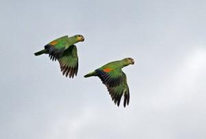Comportement : la vie est-elle plus enrichissante seule ou à deux pour les Amazones ?