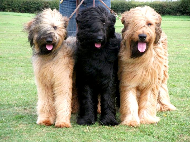 Le Briard, ou berger de Brie, un chien de caractère