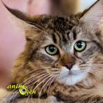 Le Pixie Bob, héritier à la robe sauvage et chat de légende