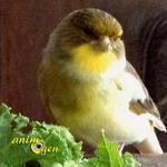 Alimentation des canaris : fruits, légumes et verdure autorisés