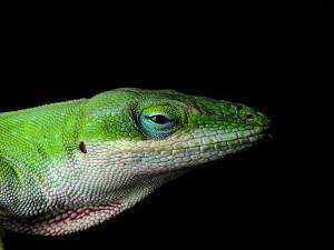 Comment l'anolis carolinensis devient le champion de l'adaptation darwinienne