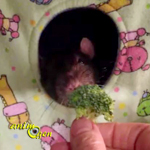 Quand rat de compagnie ne rime pas avec brocoli !