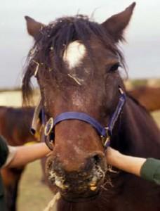 La gourme, ou angine du cheval (causes, symptômes, traitement)
