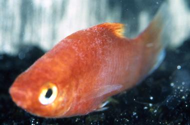 Parasites externes des poissons d'eau douce : douves (Gyrodactylus) et gyrodactylose