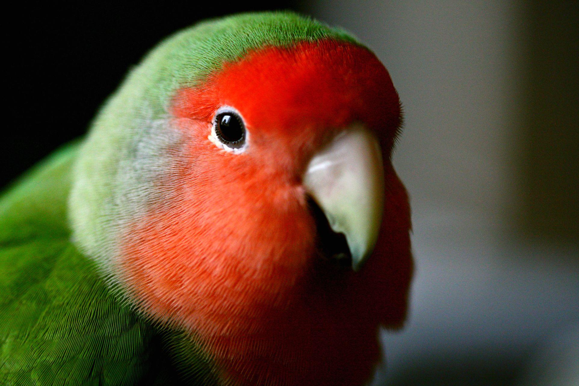 Citaten Love Bird : L inséparable ou agapornis un arc en ciel d amour animogen