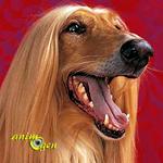 lévrier-afghan-chien-race-caractère-entretien-éducation-comportement-origines-animal-animaux-compagnie-animogen-