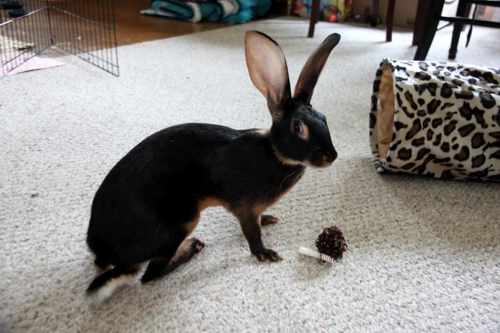 Le lièvre belge, ou lapin lièvre, le pur sang des lapins