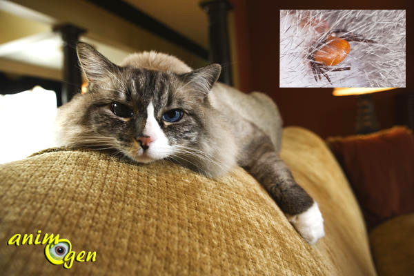 Santé : la maladie de Lyme chez le chat (causes, symptômes, traitement)