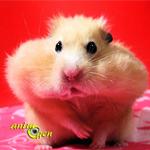 Pourquoi les hamsters stockent-ils leur nourriture ?