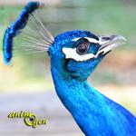 Le paon bleu, Pavo cristatus, oiseau sacré d'Inde