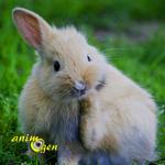 Parasites externes : les puces chez le lapin (traitements, prévention, précautions)