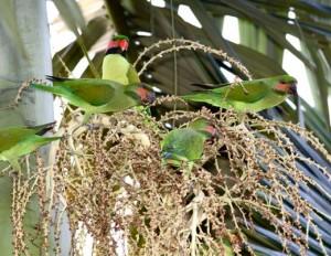 Perroquets du monde : les loris et perruches d'Asie du Sud-Est