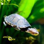 Peut-on installer des plantes dans le bac d'une tortue d'eau ?