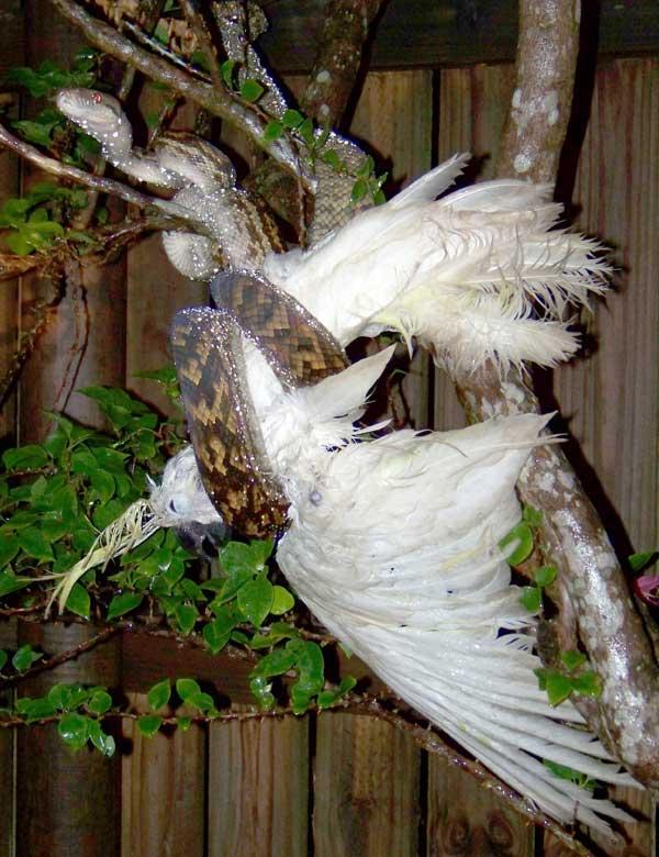 Le Cacatoès à huppe jaune, proie des pythons en Australie