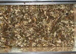 Le Phalacrognathis Muelleri, une Lucane arc-en-ciel