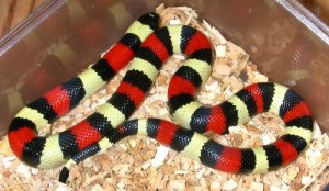 Le serpent de lait de Campbell (Lampropeltis triangulum campbelli) la beauté du serpent corail sans les conséquences