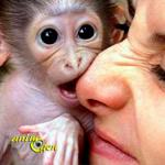 Le singe capucin (Cebus capucinus), beauté et fragilité d'une espèce en danger