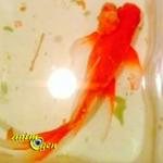 Santé : retrait d'une tumeur sur un poisson rouge (opération en images)