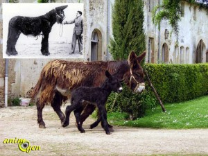 L'âne du Poitou, ou Baudet du Poitou, une race menacée