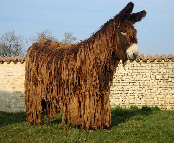 Ane Baudet l'âne du poitou, ou baudet du poitou, une race menacée | animogen