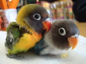 Comportement : les perroquets immatures, entre généralités et individualités