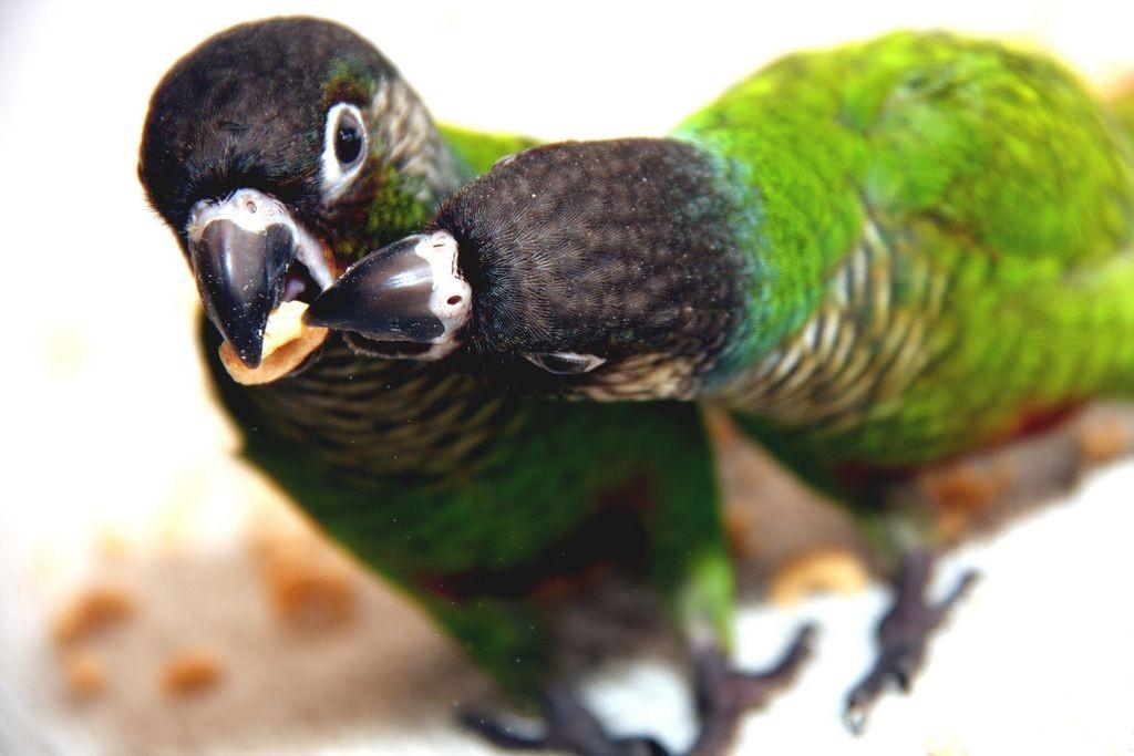 Les Conures à joues vertes (Pyrrhura molinae) vivent-elles mieux à deux ?