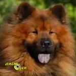 L'Eurasier, un chien qui nous en fait voir de toutes les couleurs