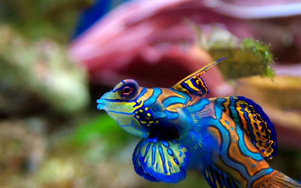 Le Poisson mandarin splendide, poisson cachemire ou dragonnet (Synchiropus splendidus)
