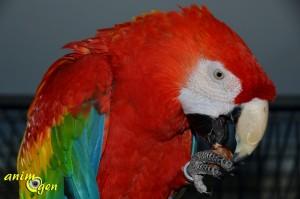 Alimentation : faisons entrer la châtaigne dans l'auget de nos perroquets
