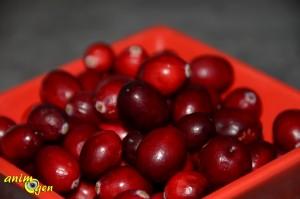 La canneberge, ou cranberry (vaccinum macrocarpon), une baie américaine qui ravit nos perroquets