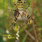 Le point zig-zag une astuce de couturière chez les araignées (stabilimentum)