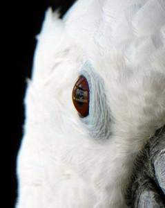 Le Cacatoès à huppe blanche, ou Cacatua alba (caractère, maintenance, reproduction)