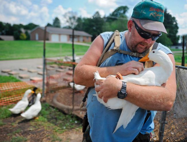 Vivre avec des canards est-il bon pour la santé ?