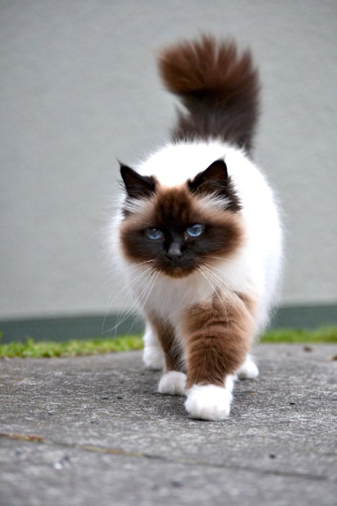 Le génome de la domestication découvert chez le chat