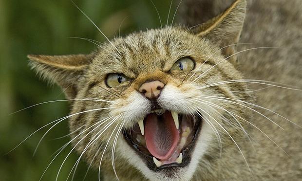 La domestication du chat érotique