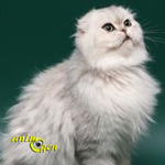 Le Highland Fold, un Scottish Fold à poils longs