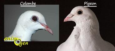 pigeons et colombes y a t il des diff rences animogen. Black Bedroom Furniture Sets. Home Design Ideas