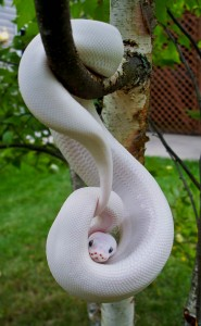 Phase du python royal (python Regius) : Blue Eyed Leucistic, la beauté du diable