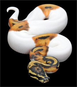 Le python royal, ou Python regius (alimentation, maintenance, reproduction)