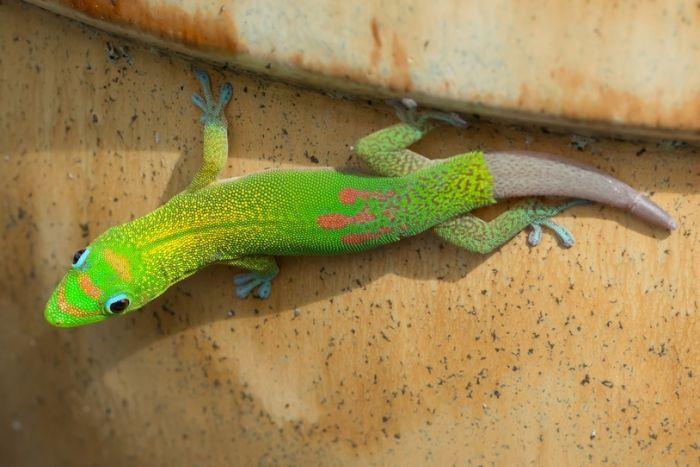 Santé : quand le gecko perd la queue (causes, conséquences, solutions)