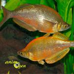 La reproduction du poisson arc-en-ciel, Melanotaenia (paramètres, déroulement, alimentation)